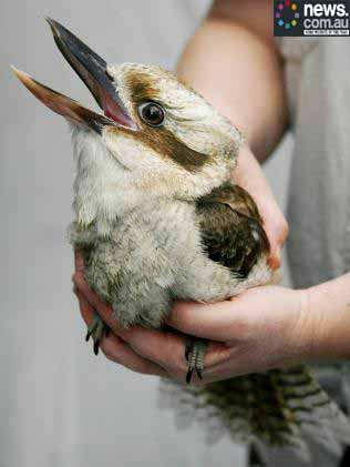 What do kookaburras look like  Answerscom